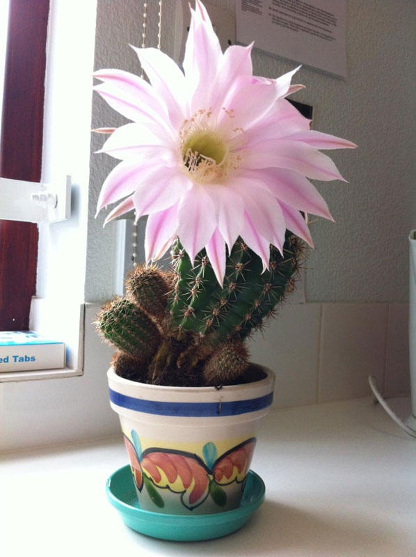 cactus flowers once a year (5)