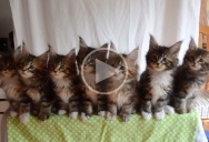 Just Seven Kittens Reacting in Unison to a Shiny Object