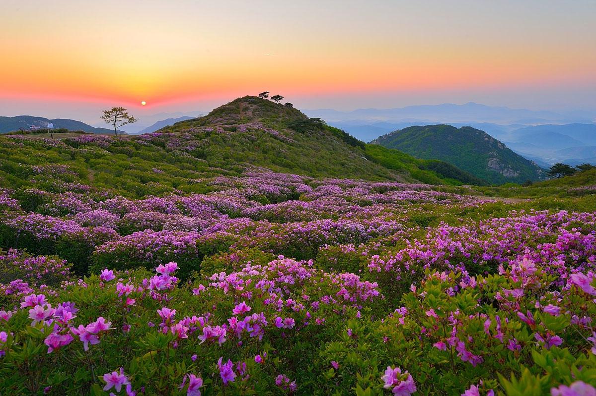 royal azaleas Mt. Hwangmaesan south korea