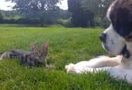 St. Bernard Meets a Kitten, Adorableness Ensues