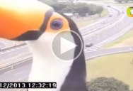 Just a Toucan Photobombing a Traffic Camera