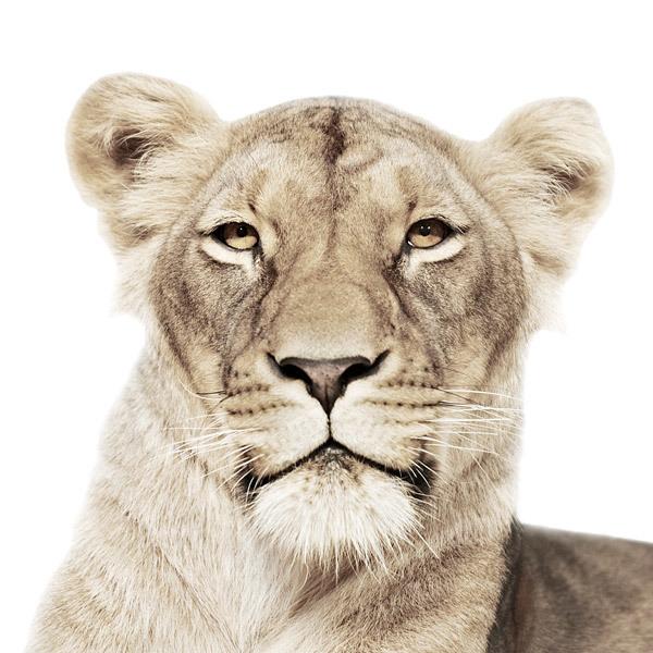animal portraits on white background by morten koldby (5)