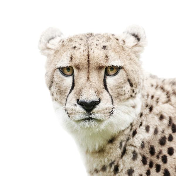 animal portraits on white background by morten koldby (7)