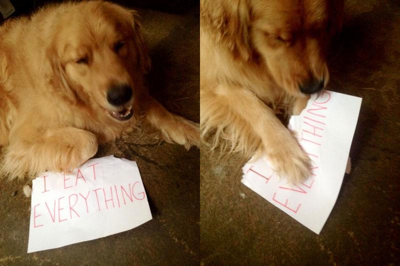 dog chews dog shaming sign The Shirk Report   Volume 281