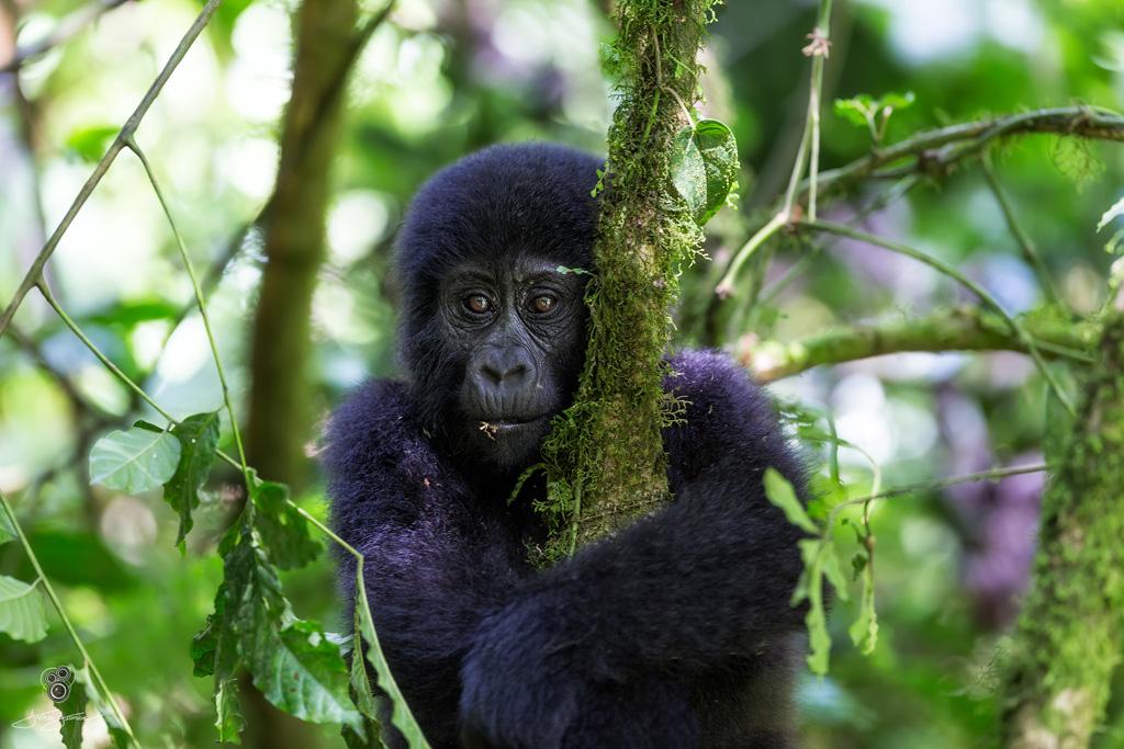 Gorilla by andrei duman