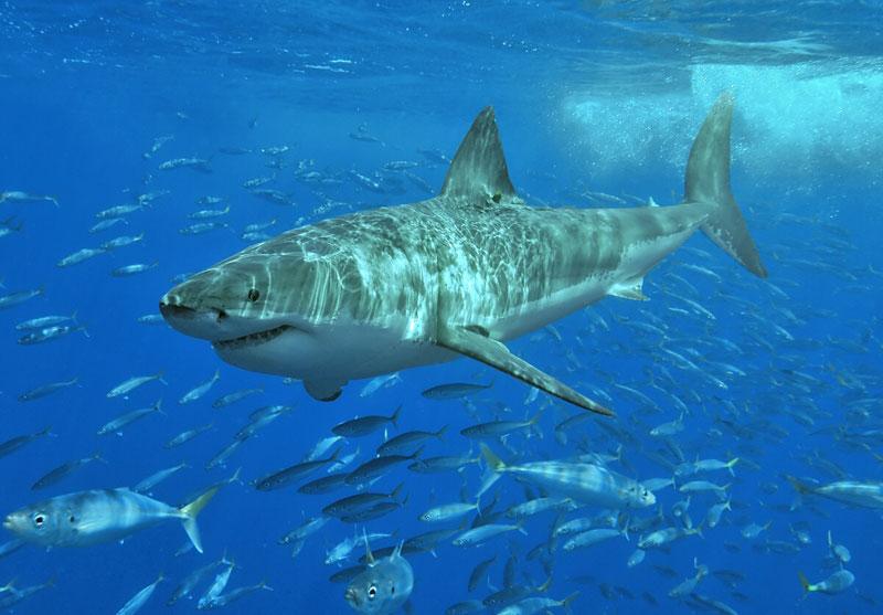 great White_shark