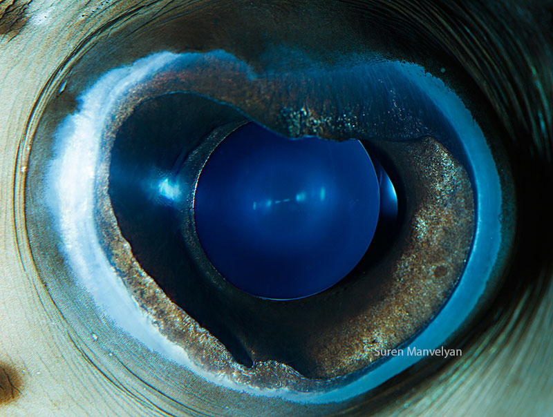 macro close-up photos of animal eyes by suren manvelyan (1)