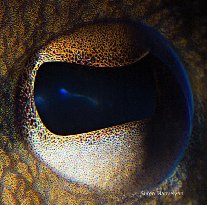 macro close-up photos of animal eyes by suren manvelyan (10)