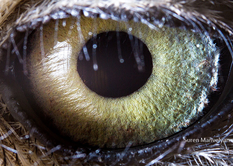 macro close-up photos of animal eyes by suren manvelyan (14)