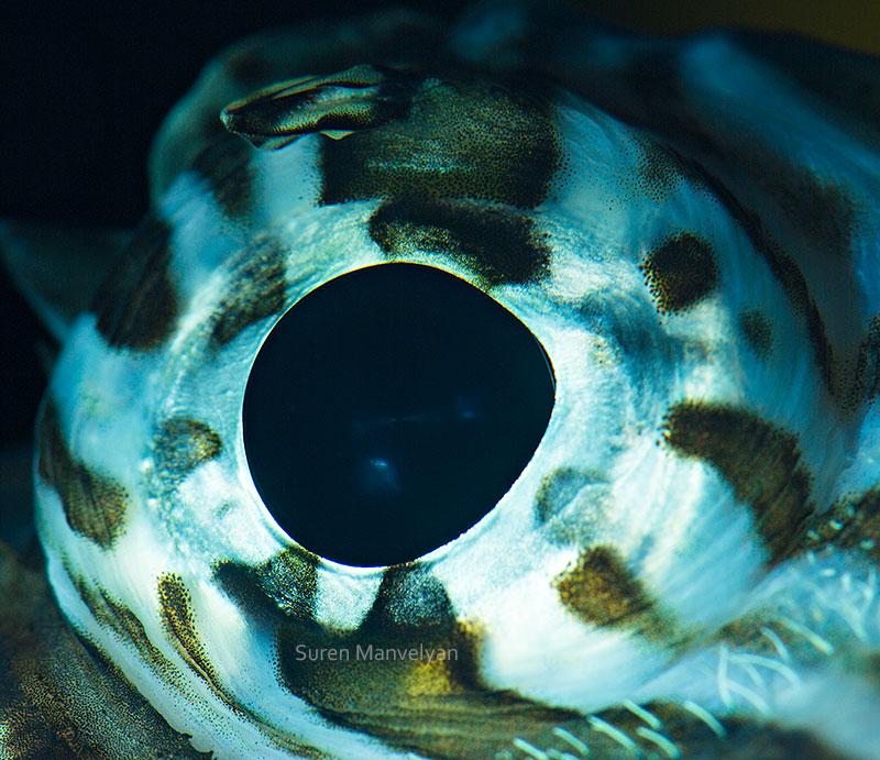 macro close-up photos of animal eyes by suren manvelyan (3)