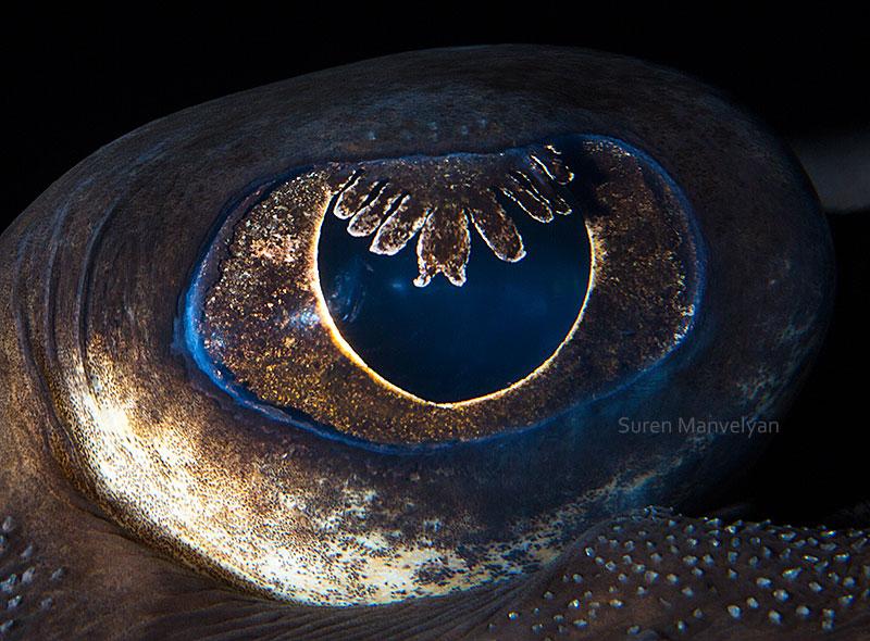 macro close-up photos of animal eyes by suren manvelyan (5)