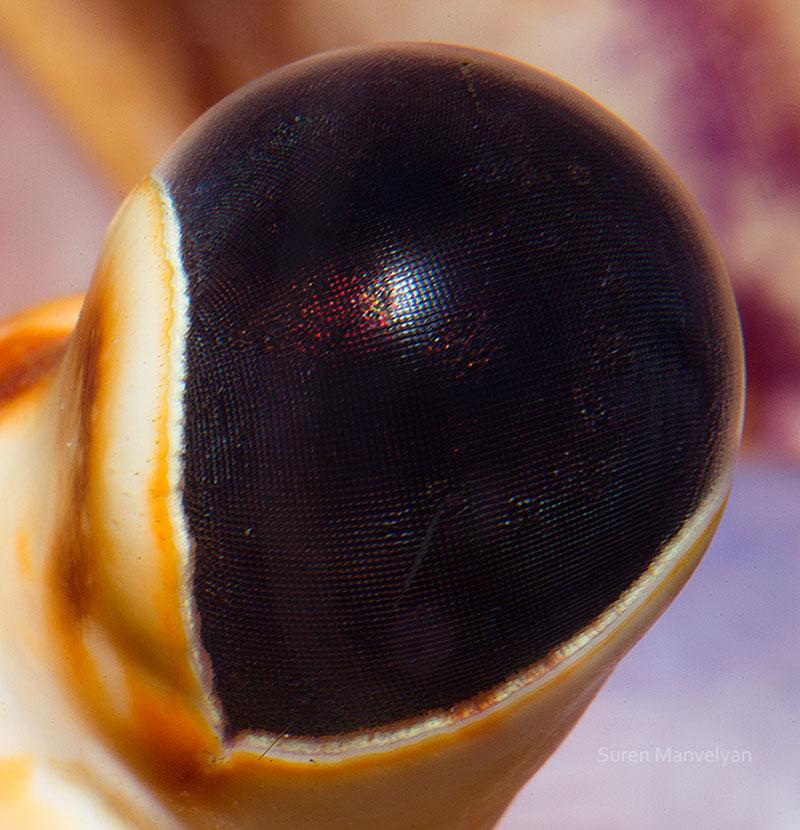 macro close-up photos of animal eyes by suren manvelyan (9)