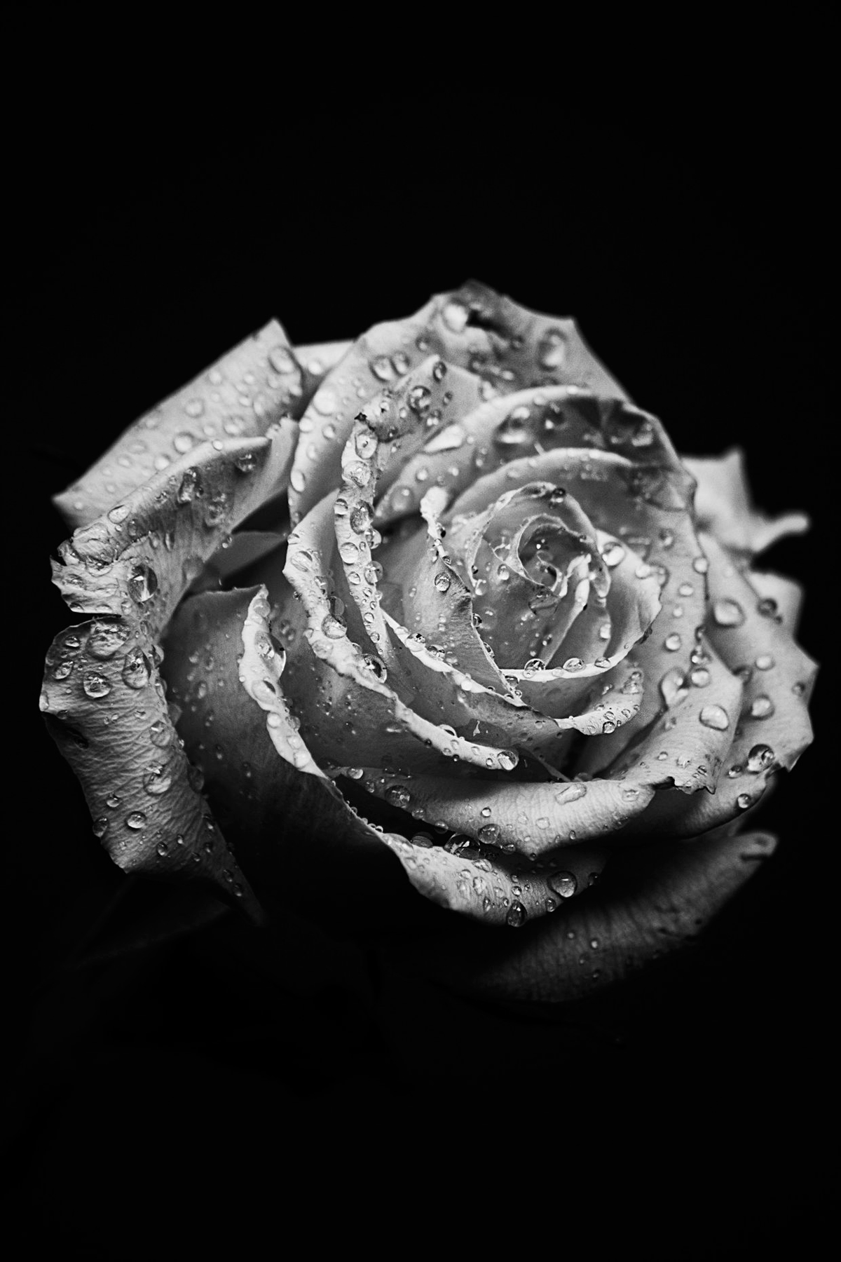 macro rose black and white Picture of the Day: Macro Rose