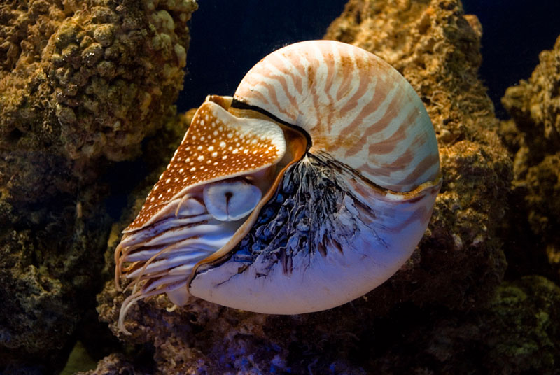 nautilus Four Ancient Animals That are Older than Trees