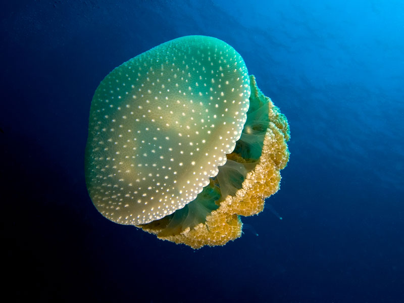 Phyllorhiza_punctata_(White-spotted_jellyfish)