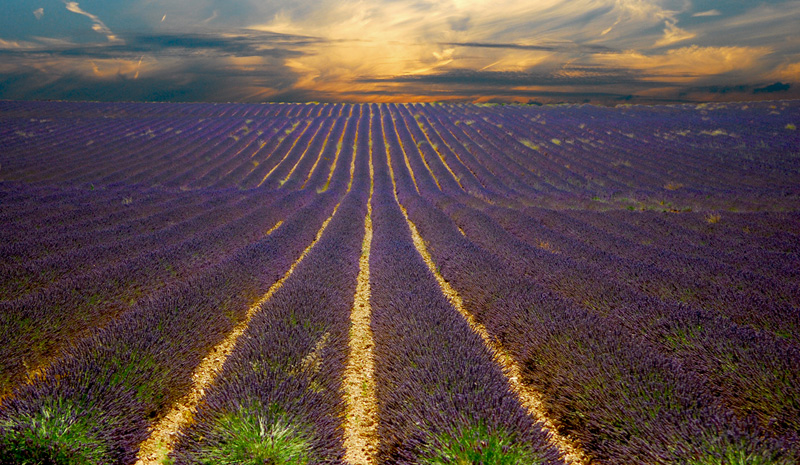 sunset lavender field provence france Picture of the Day: Lavender Sunsets in Provence