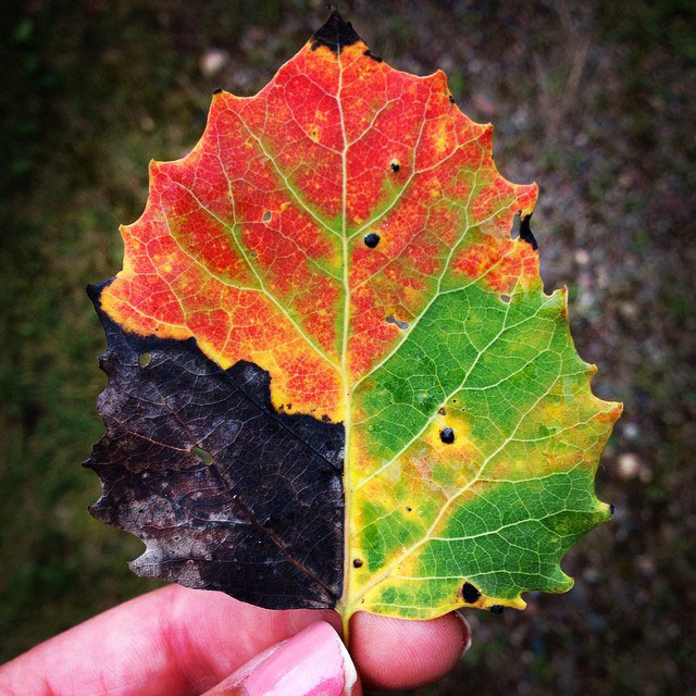 tri color leaf green shows different seasons Picture of the Day: A Leaf for All Seasons