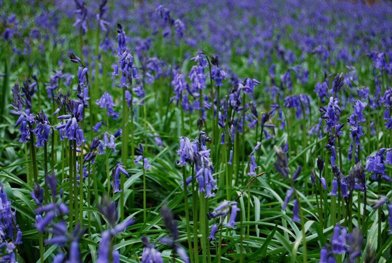visit bluebells of hallerbos forest belgium (1)