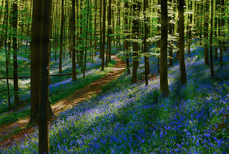 visit bluebells of hallerbos forest belgium (2)