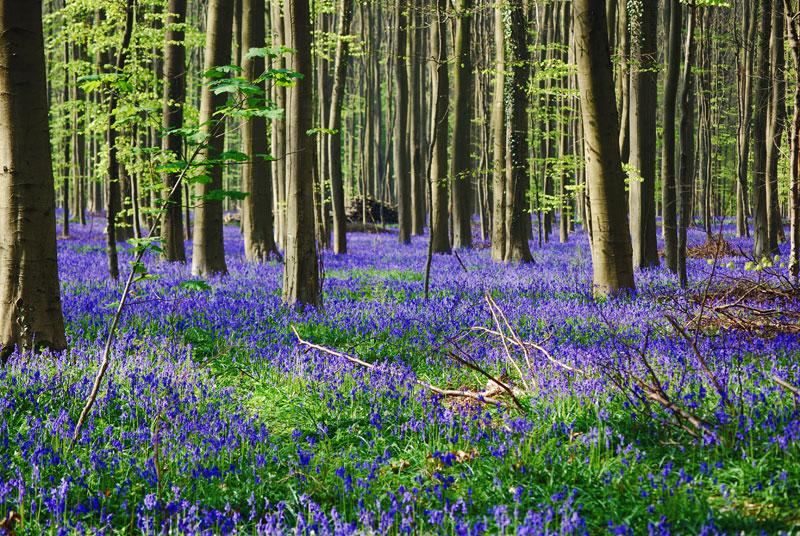 visit bluebells of hallerbos forest belgium (3)
