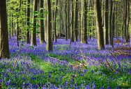 The Bluebells of Hallerbos, Belgium