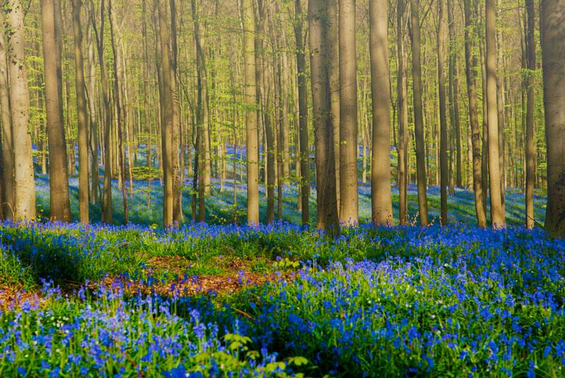 visit bluebells of hallerbos forest belgium (4)