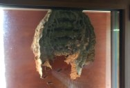 This is What the Inside of a Hornet's Nest Looks Like
