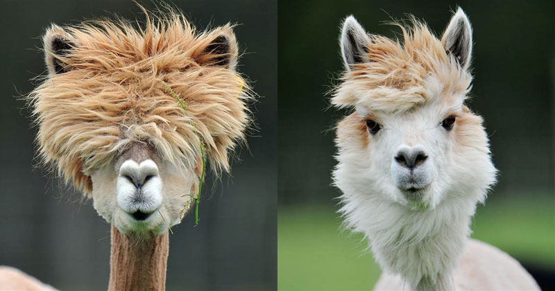alpacas with the best hair ever Glorious Highlights from the 2014 World Beard and Moustache Championships