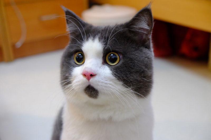 chin fur makes cat look surprised banye china (4)