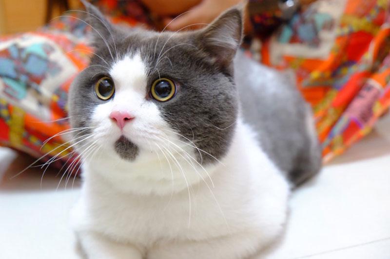 chin fur makes cat look surprised banye china (5)
