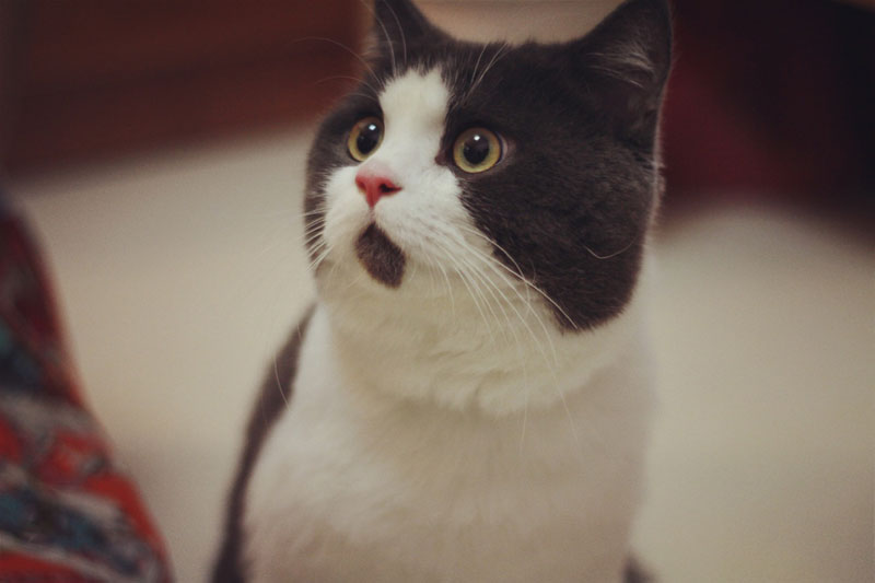 chin fur makes cat look surprised banye china (7)
