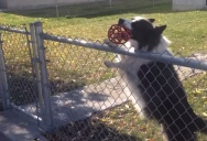 Clever Dog Lures Unsuspecting Pedestrians Into Endless Game of Fetch