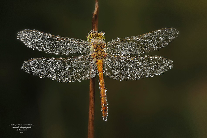 dragonfly with dew on it by andre baumann Picture of the Day: Dragon Dew