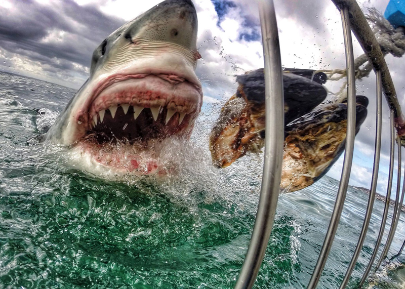 gopro great white shark up close jaws amanda brewer Picture of the Day: SHAAAARRRK!