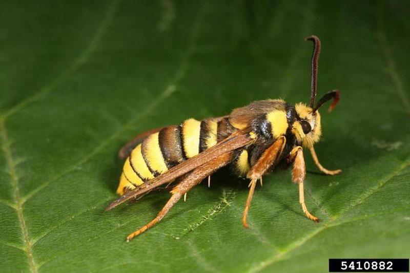 hornet moth (1)