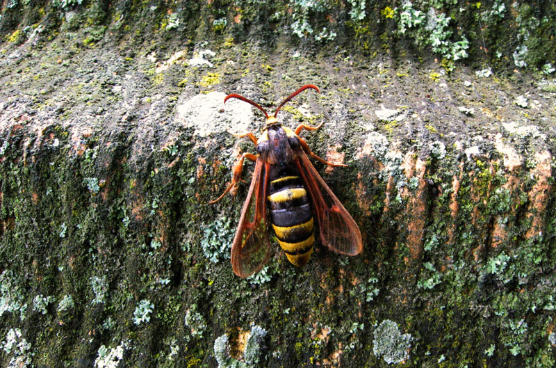 hornet moth (6)