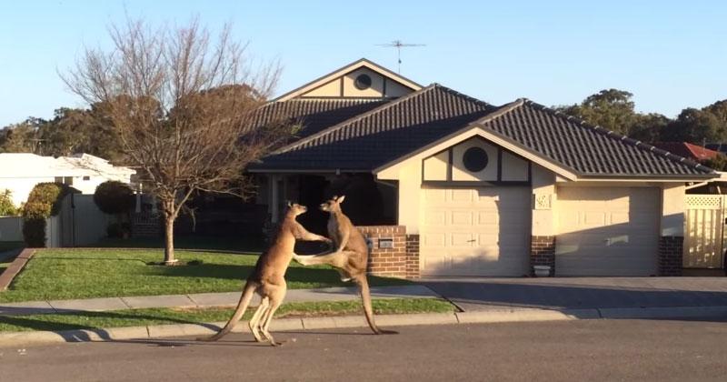Meanwhile in Australia, a Kangaroo Street Fight