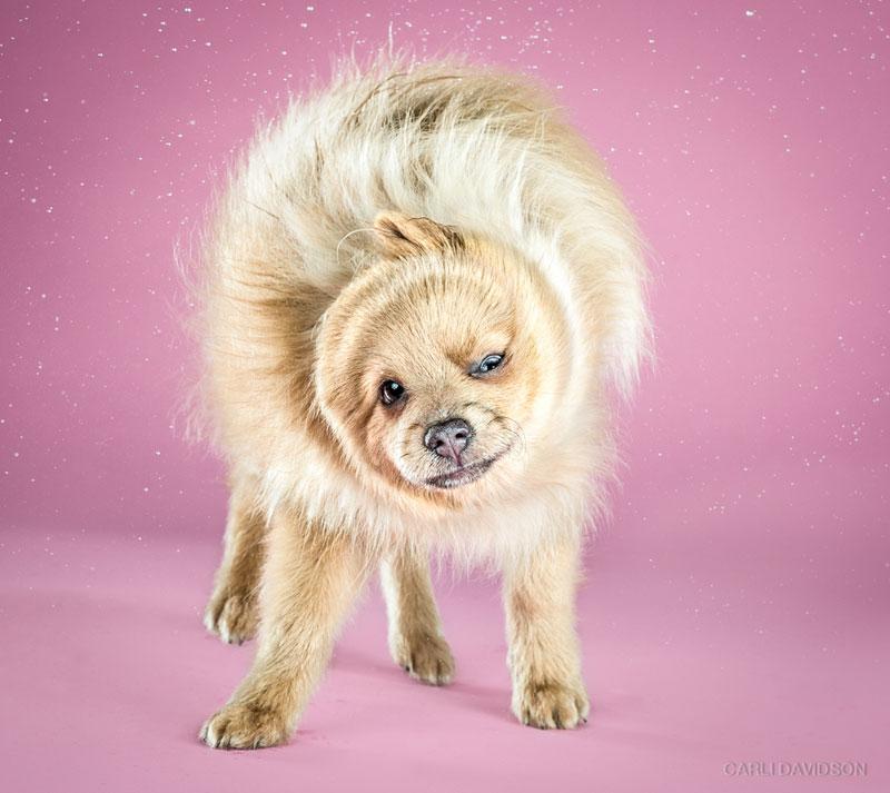 Shake-Puppies-12_Pomeranian