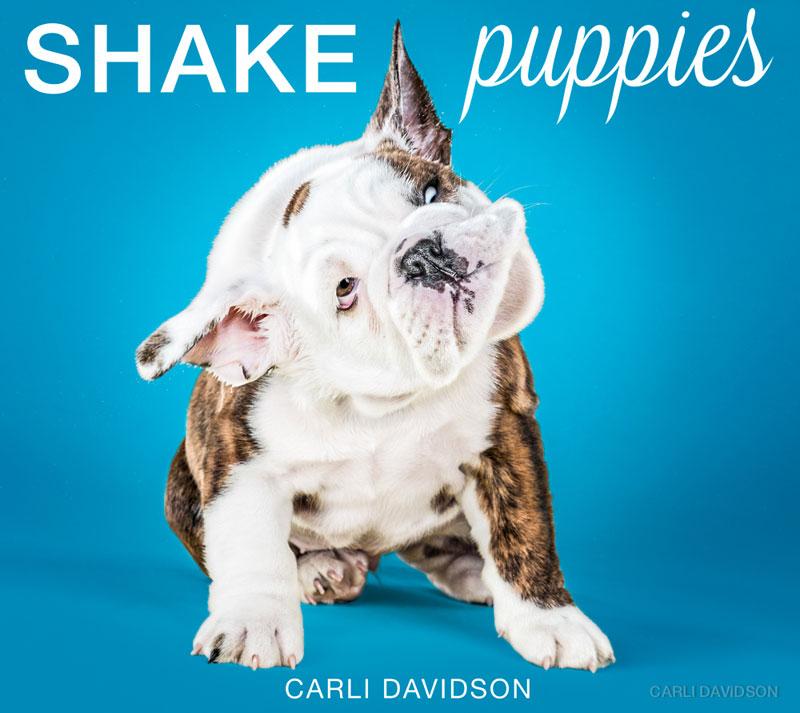 Shake-Puppies-15_English-Bulldog