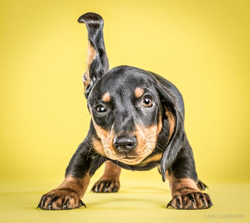 Shake-Puppies-4Dachshund