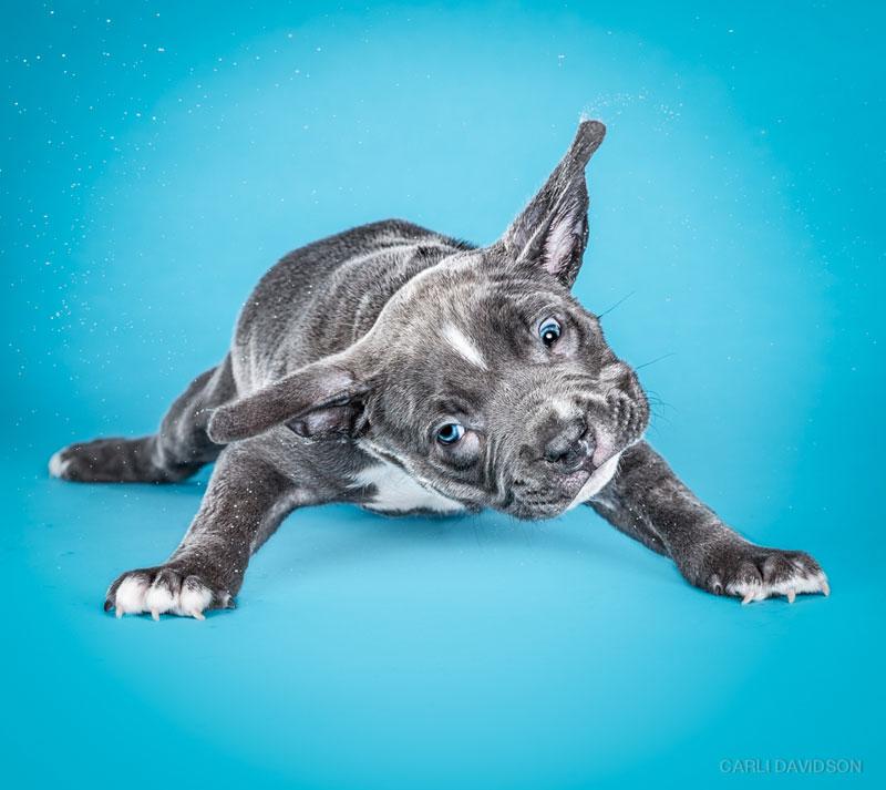 Shake-Puppies-7_Pitbull