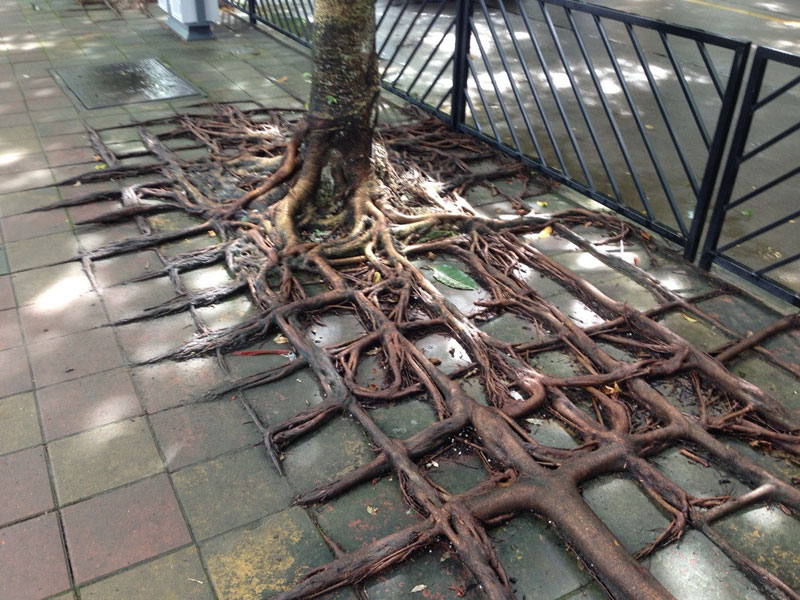 square roots from tree growing through concrete sidewalk china Picture of the Day: Square Roots