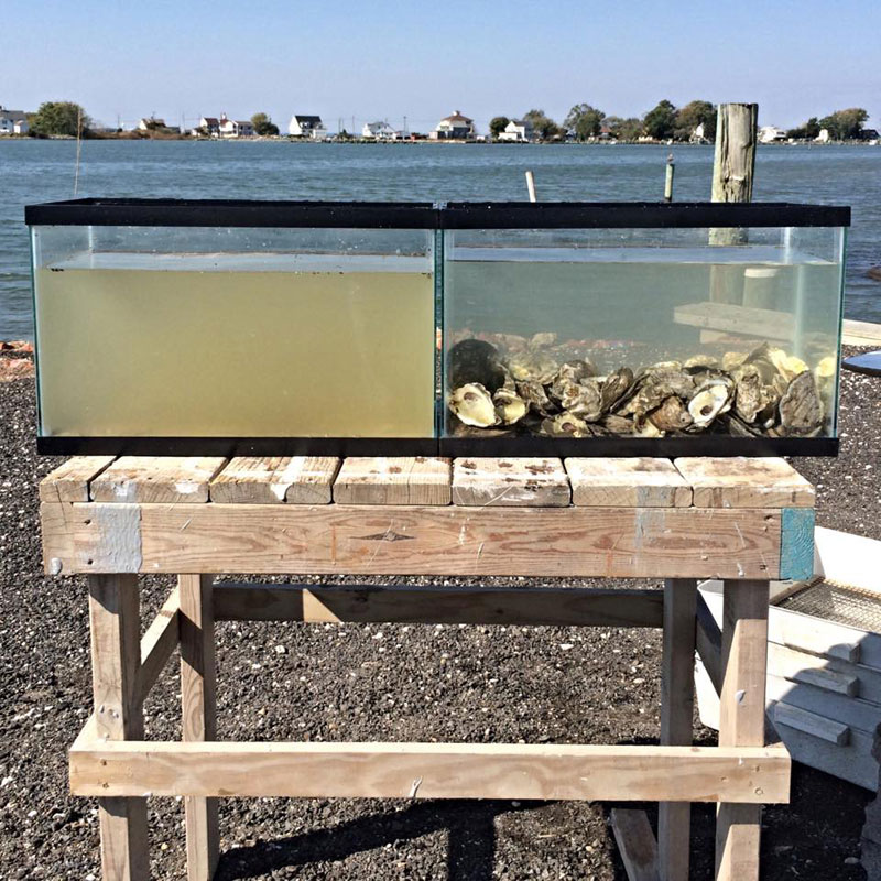 two tanks filled with same water one has oysters in it to filter Two Tanks Filled with the Same Water but One has Oysters In It