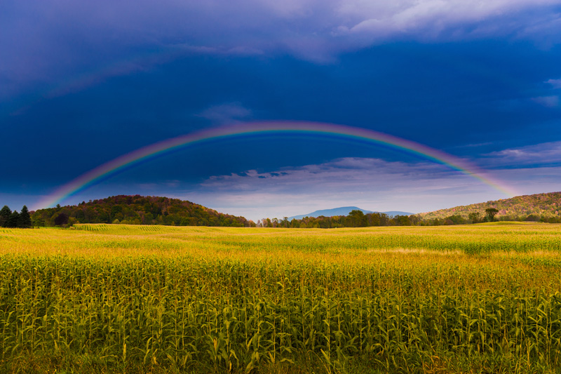 Rainbow over a golden field of corn.