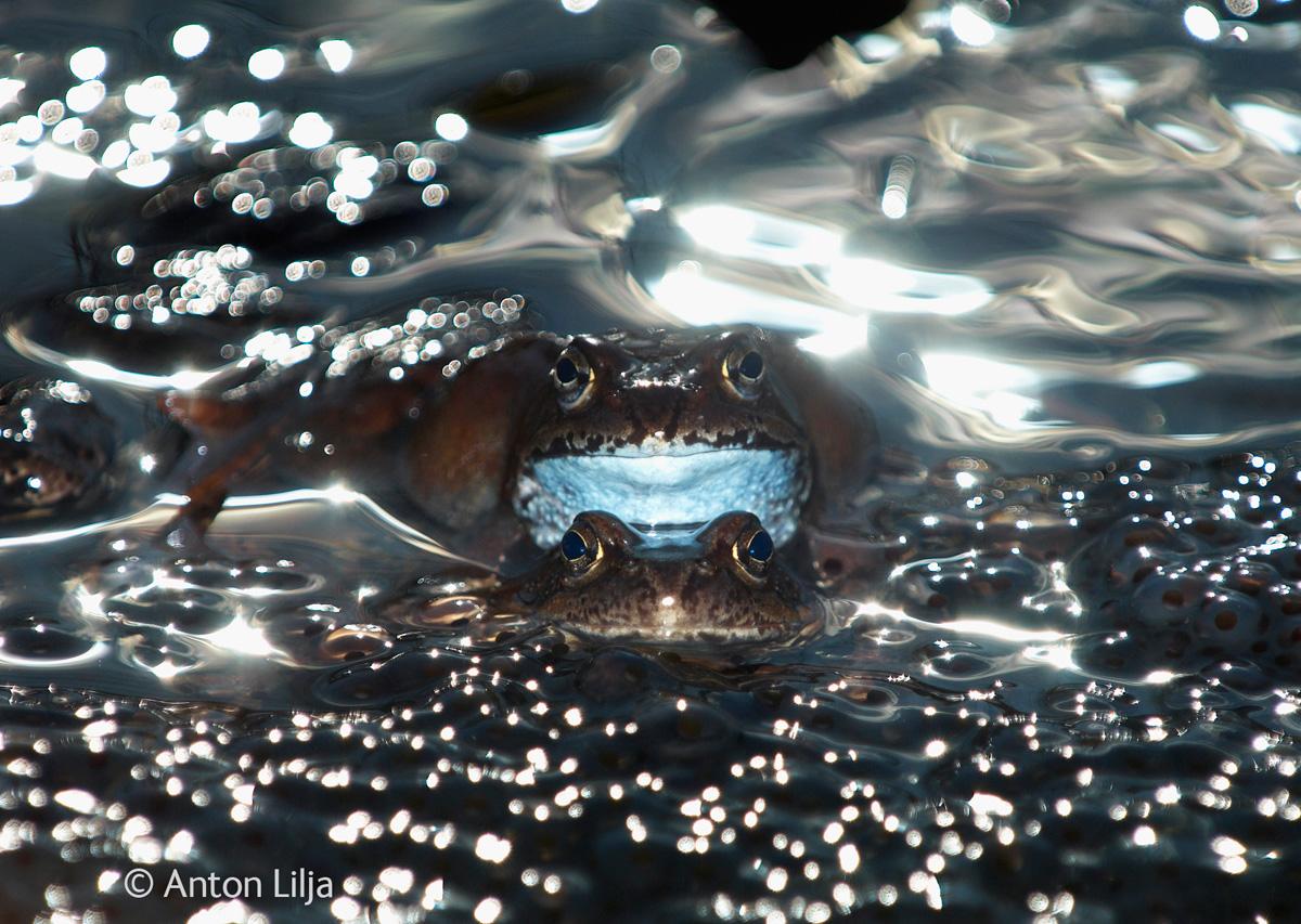 Common Frogs (Rana temporaria) breeding in a waterpuddle surroun