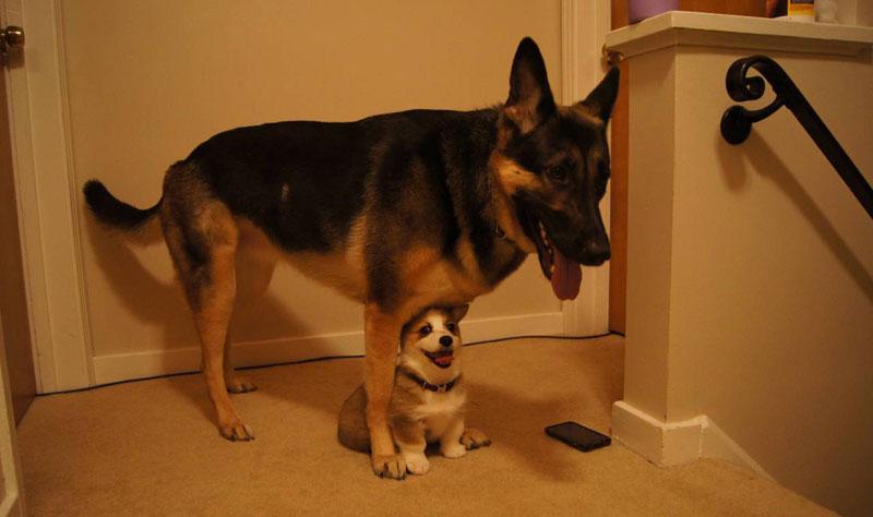 big dog little dog The Shirk Report   Volume 292