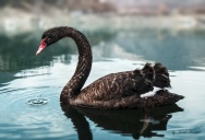 Picture of the Day: The Black Swan