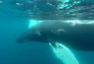 Snorkeling With Humpbacks