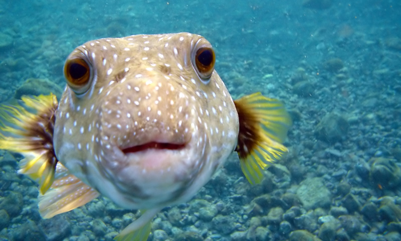Picture of the Day: Kiss from a Puffer Fish