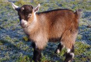 Meet Benjamin, the Orphan Pygmy Goat Sweeping Britain